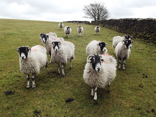 ZFlock of Sheep