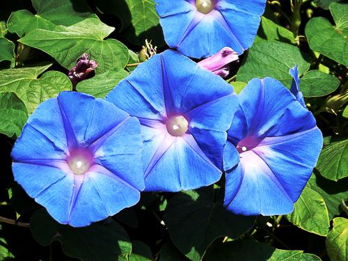 ZIpomoea Flowers