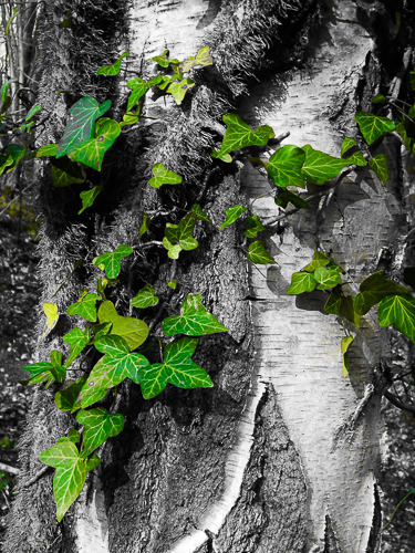 zSilver Birch and Ivy (1)